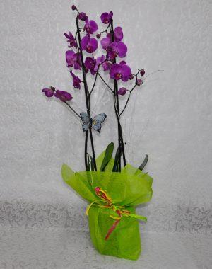 Orquídea Rosa en Planta