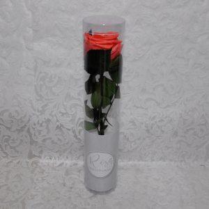 Rosa preservada color coral