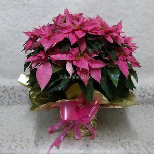 Poinsettia Fucsia (Flor de Pascua)
