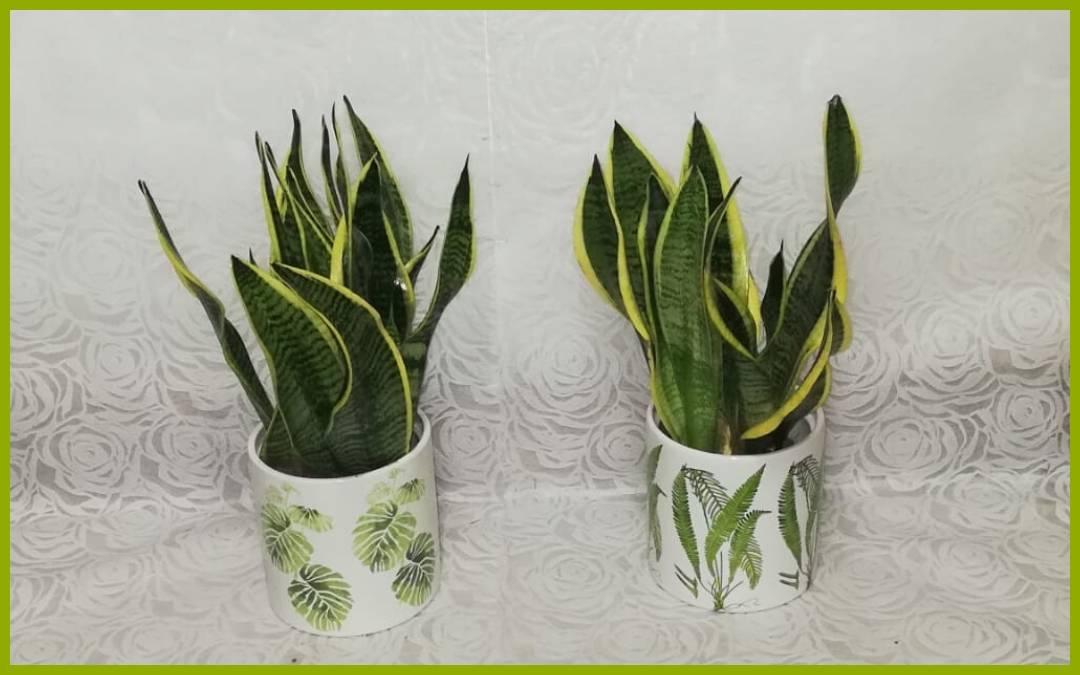 Sansevieria, una planta resistente y fácil de cuidar